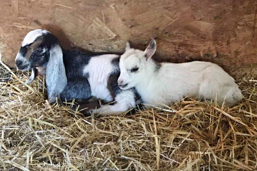 Goat Yoga - Fort Collins
