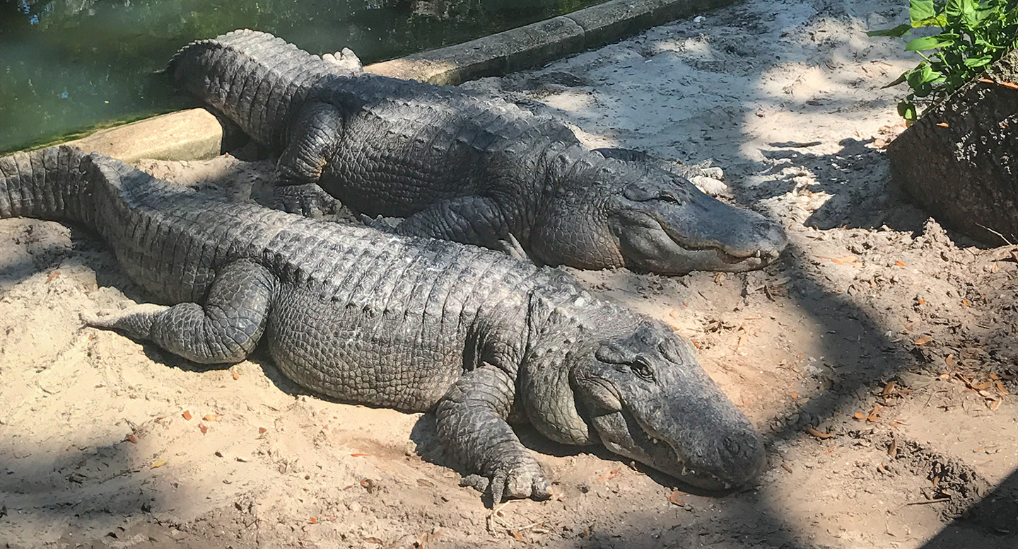 List of Fun Things To Do In St. Augustine, Florida - Alligator Farm
